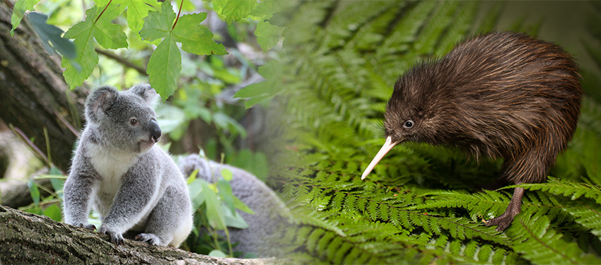Blended image with Koala sitting on tree brand on the left and Kiwi bird walking on fern leaf on the right.