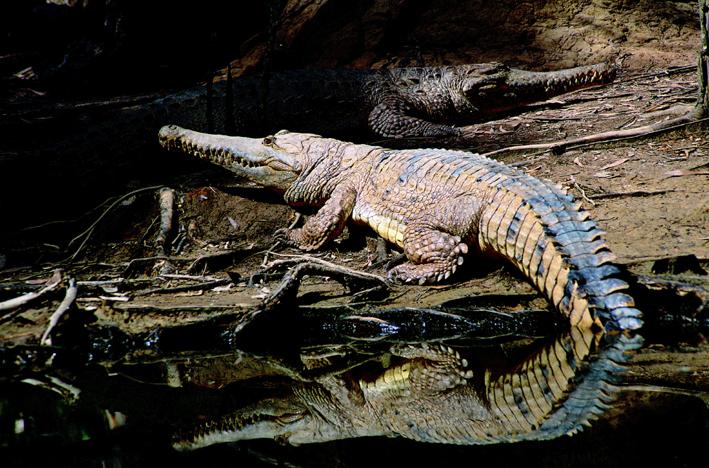 Hartleys Creek Croc
