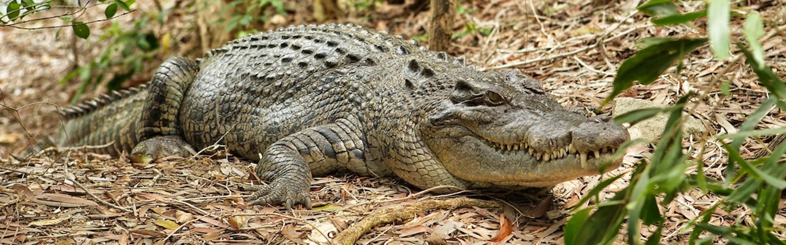 Saltwater Crocodile at Hartleys